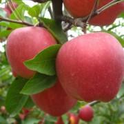 山东红富士苹果供应商交易有限公司